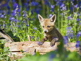 Red Fox Cub on Log in Bluebells Photographic Print