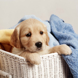 Golden Retriever Puppy in Laundry Basket Photographic Print