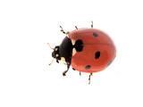7-Spot Ladybird Photographic Print