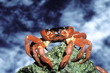 Red Crab Female after Spawning Photographic Print