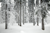 Norway Spruce Trees Covered in Snow and Ice Photographic Print