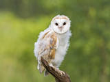 Barn Owl, Youngster on Branch in Meadow Photographic Print
