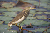 Indian Pond Heron Photographic Print