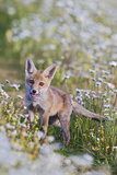 Red Fox Cub in Wild Flower Meadow Photographic Print