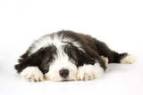 Bearded Collie Puppy Lying Down Photographic Print