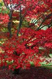 Japanese Maple Autumn Colour at Winkwort Arboretum Photographic Print