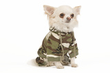 Long-Haired Chihuahua in Studio Wearing Camouflage Photographic Print