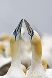 Northern Gannet Sky Pointing as Part of Courtship Display Reproduction photographique