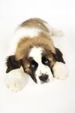 St Bernard Dog 14 Week Old Puppy Photographic Print