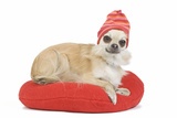 Long-Haired Chihuahua Wearing Knitted Hat Photographic Print
