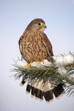 Common Kestrel Young Male on Snowy Fir Branch Photographic Print