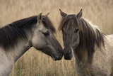 Konik Ponies Two Together Photographic Print