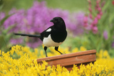 Magpie Perched on Plant Pot in Garden Photographic Print