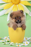 Pomeranian Puppy in Flower Pot (10 Weeks Old) Photographic Print