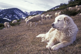 Pyrenean Mountain Dog Protecting Sheep Photographie