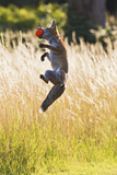 Red Fox Cub Jumping for Ball Photographic Print