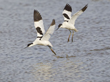 Avocet Courtship Chase in Flight Photographie