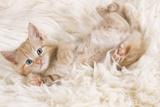 Ginger Kitten, Lying on Back on Rug Photographic Print