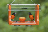 Baltimore Oriole Males Feeding at Jelly and Fruit Feeder Photographie