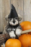 Schnauzer Puppy Looking over Broom Wearing Witches Hat Photographic Print