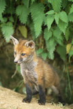 Red Fox Cub at Den Photographic Print