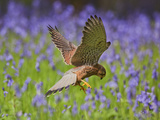 Kestrel Male Hunting in Bluebells Photographic Print
