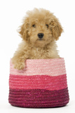 Poodle in Pink Basket Photographic Print