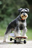 Schnauzer on Skateboard Photographic Print