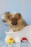Pomeranian Puppy in Bath (10 Weeks Old) Fotografisk tryk