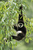 White-Handed Gibbon Hanging in Tree Photographic Print