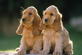 Cocker Spaniel Dogs Puppies Photographic Print