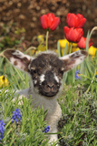 Sheep Lamb in Spring Flowers Photographic Print