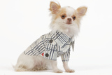 Long-Haired Chihuahua in Studio Wearing Checked Shirt Photographic Print