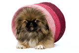 Pekingese Puppy in Studio in Pink Raffia Pot Photographic Print