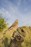 Common Kestrel Perched on Stump Photographic Print