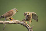 Common Kestrel Male Passing Food to Female Photographic Print