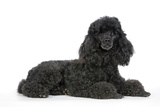 Black Poodle Lying Down Photographic Print