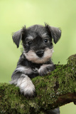 Miniature Schnauzer Puppy (6 Weeks Old) on a Mossy Log Fotografisk tryk