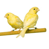 Bird Two Canaries on Perch Photographic Print