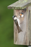 Tree Swallow Adult Feeding Young at Nest Box Photographic Print