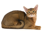 Abyssinian Cat Photographic Print
