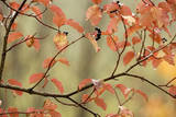 Dogwood in Autumn, with Raindrops Photographic Print
