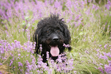 Black Labradoodle Sitting in Field Photographic Print