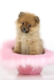 Pomeranian Puppy (10 Weeks Old) Sitting in Pink Hat Photographic Print