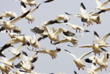 Snow Goose Flock Taking Off Photographic Print