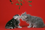 Kittens Kissing under the Mistletoe Photographic Print
