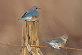 Eastern Bluebird Male and Female in Winter Photographic Print