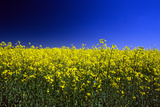 Rapeseed (Canola) Field Photographic Print
