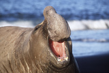 Southern Elepant Seal with Mouth Open Photographic Print