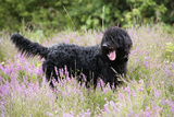 Black Labradoodle Standing in Field Photographic Print